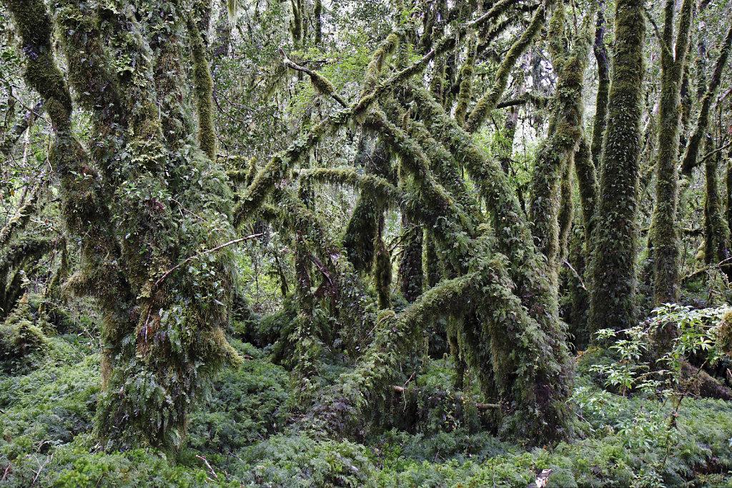 Wald bei Puyuhuapi